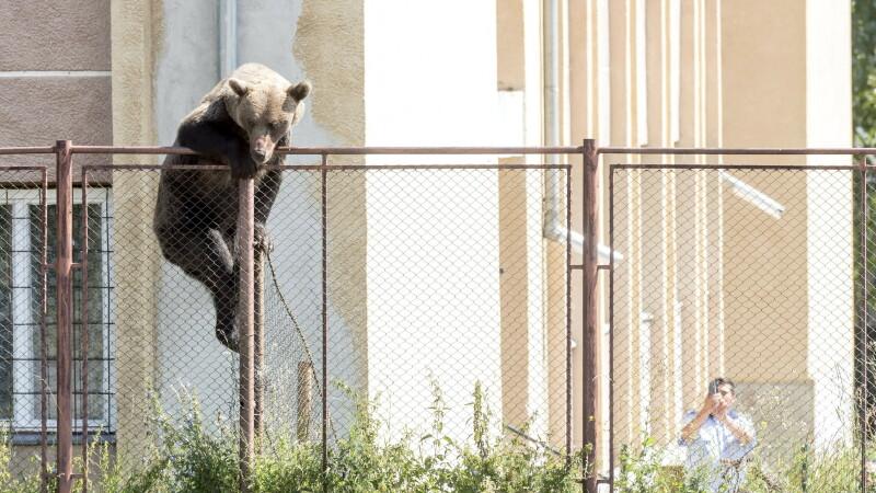 Urs Miercurea Ciuc
