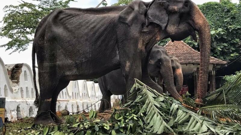 Imagini sfâșietoare cu un elefant numai piele și os, forțat să participe la spectacole