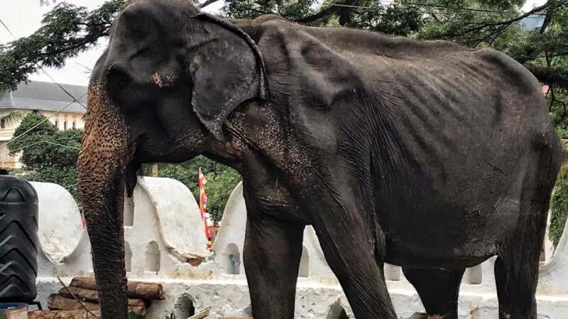 """Noi imagini sfâșietoare cu Tikiiri, elefantul înfometat la o paradă. """"E aproape de moarte"""" - 3"""