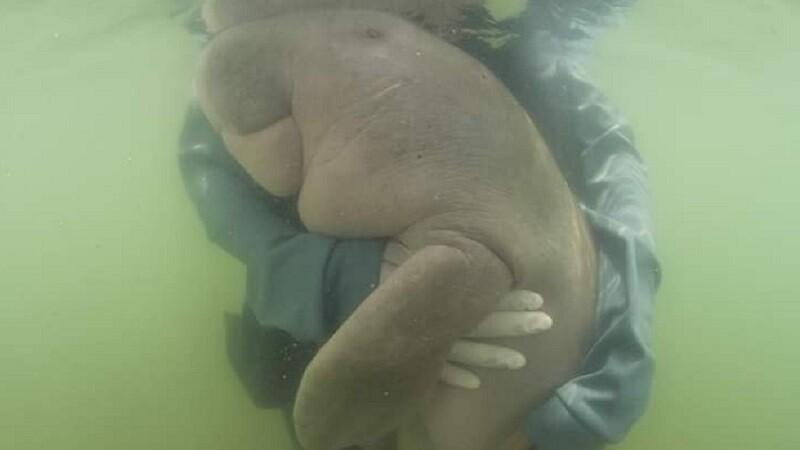 Pui de dugong moare la câteva luni după ce a fost salvat