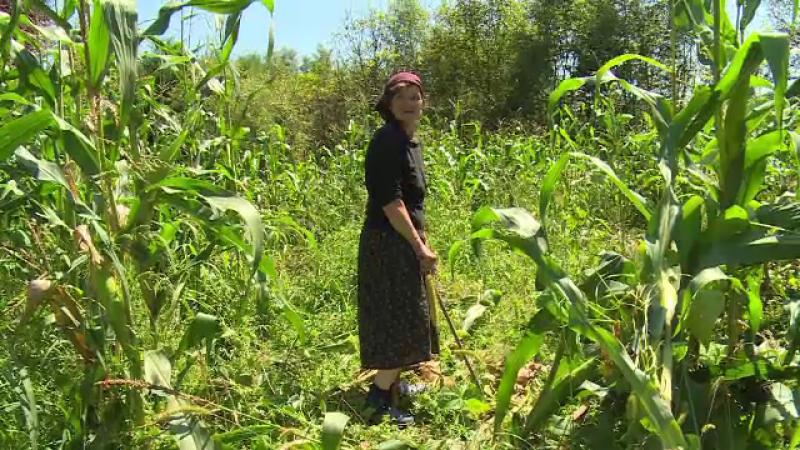 """Mistreții fac ravagii în culturile unor săteni din Dâmbovița. """"Am muncit degeaba"""""""