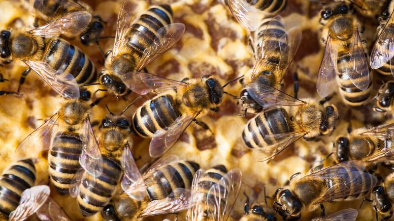 A trăit aproape un an cu 60.000 de albine în tavan