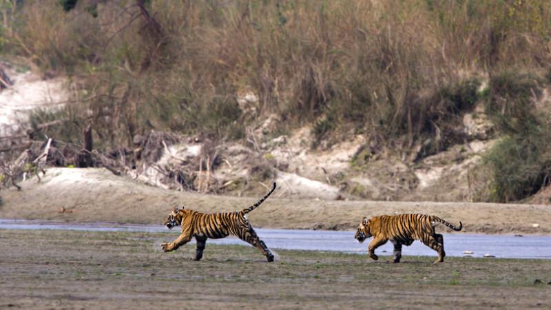 tigri in nepal