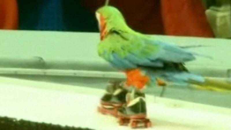 Papagal circ