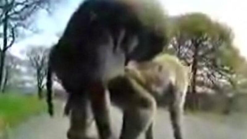 Maimute, babuini
