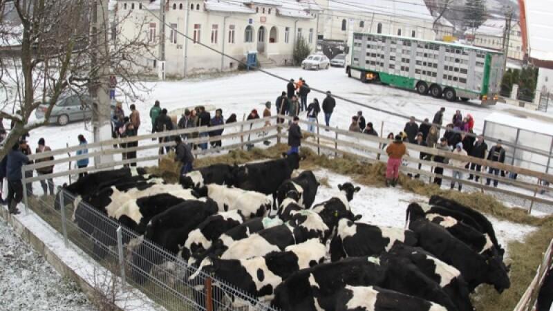 Heifer, vaci