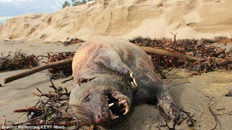Creatura bizara cu corp de porc si cap de lup descoperita pe o plaja din California. FOTO