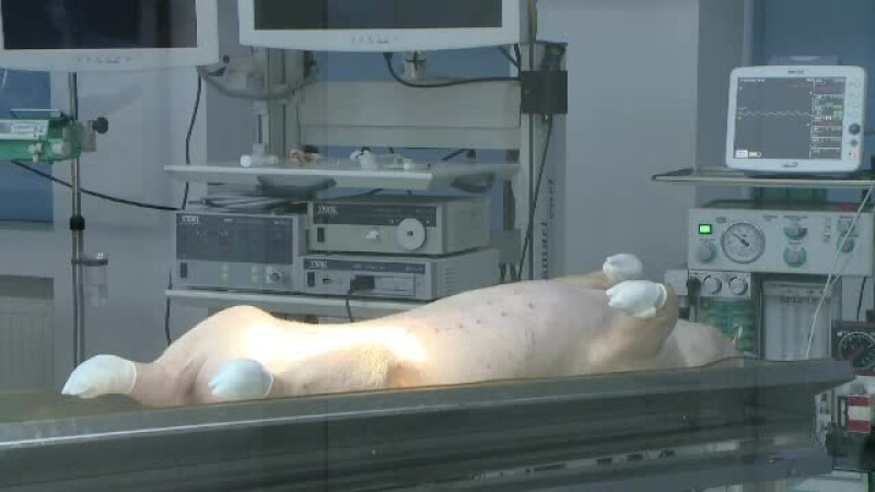 porc, operatie