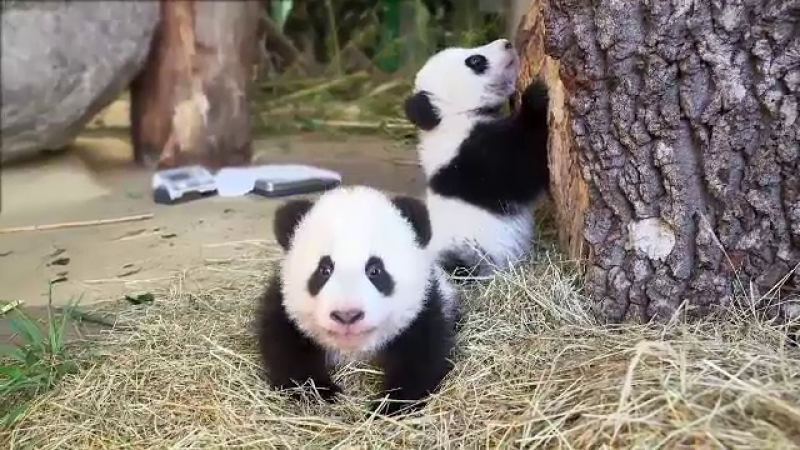 Doi pui de panda au devenit atractia gradinii zoologice din Viena. Fu Feng si Fu Beng sunt staruri pe retelele de socializare