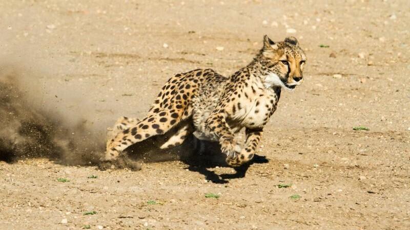 Ghepardul, cel mai rapid animal terestru, este pe cale de disparitie. Doar 7.100 de exemplare mai sunt in salbaticie