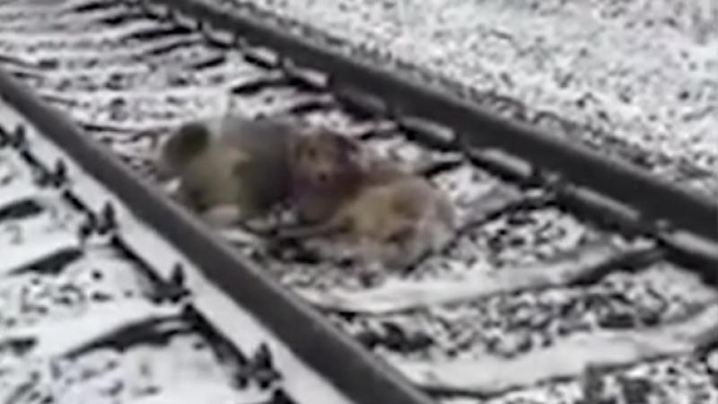 Un caine din Ucraina a stat doua zile langa partenera sa ranita. Nu s-a miscat nici cand era sa fie calcat de tren. VIDEO