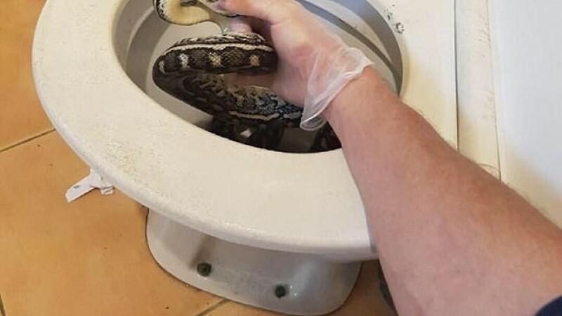 Piton, descoperit într-un vas de toaletă. Cum au reacționat proprietarii. VIDEO
