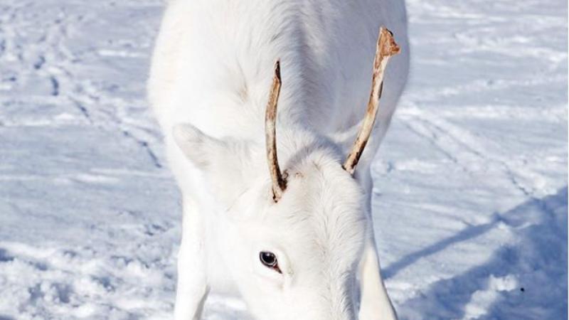 Pui de ren alb, vedetă pe internet, datorită culorii sale