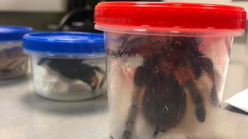 Bărbat prins la aeroport cu 32 de crocodili şi 6 tarantule. Cui i le adusese cadou