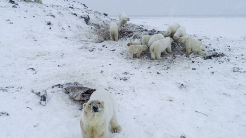 Localitatea din Rusia, invadată de urși polari