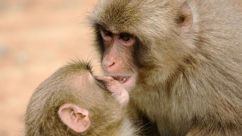 Maimute macaca