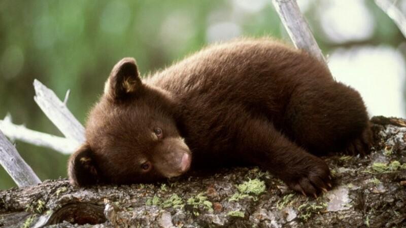 Pui de urs