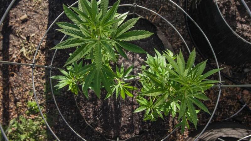 planta de cannabis