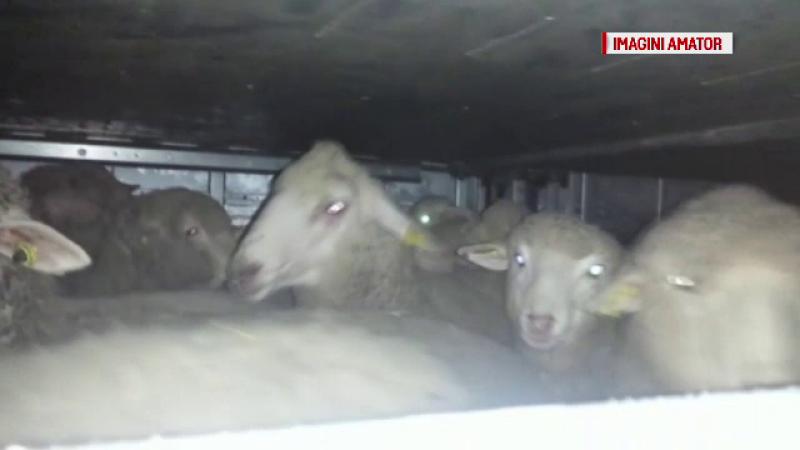 Modul barbar in care sunt transportate animalele in tara si peste hotare. \