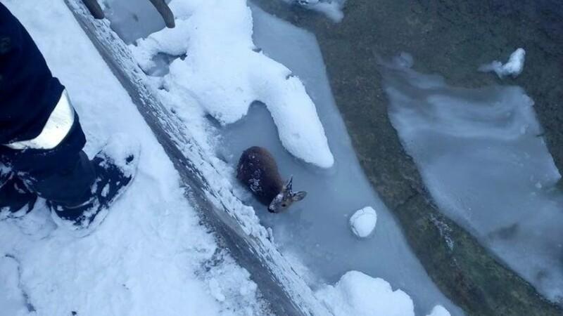 Un pui de căprioară, care agoniza în albia unui râu înghețat, salvat
