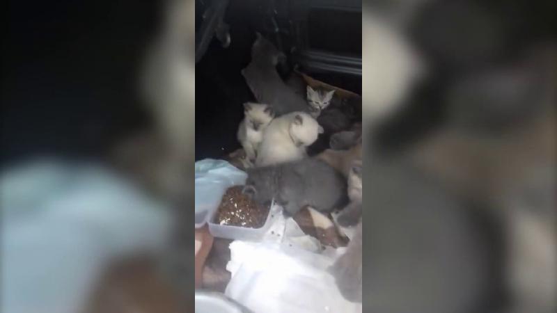 Trafic pisici