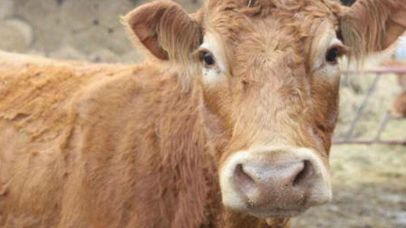 vaca polonia