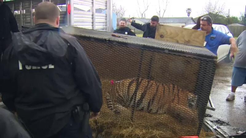 Tigru găsit de un tânăr într-o casă abandonată