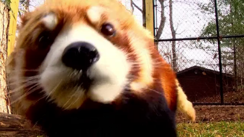 Ursi panda rosii