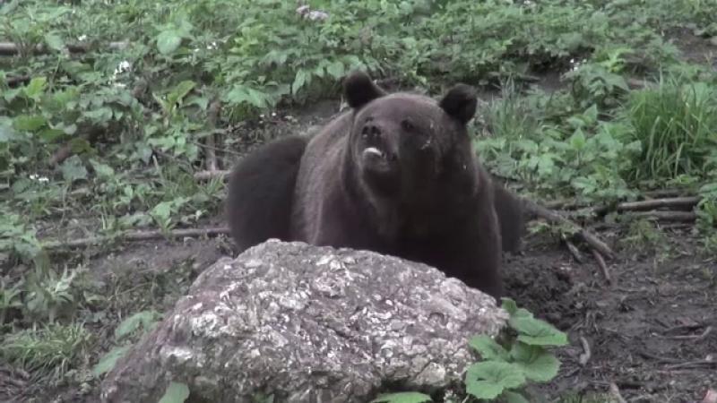 Din cauza temperaturilor ridicate, urșii au dat iama prin ferme, în județul Mureș