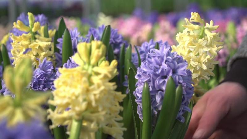 Cu cât sunt mai ieftine florile românești decât cele din import
