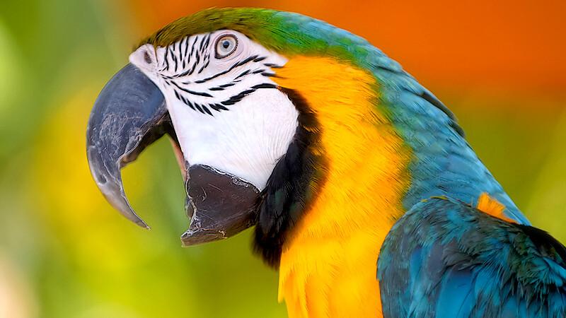 Microbist cu pene! Un papagal a facut scandal la un meci de fotbal