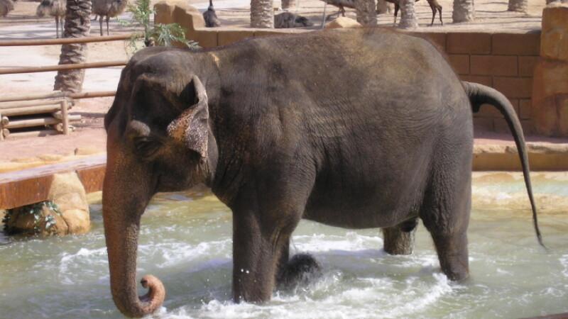 Seful Gradinii zoo din Kiev, concediat pentru ca n-a imperecheat elefantul