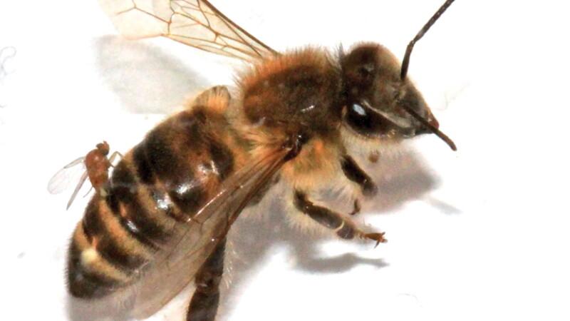 Albina parazitata