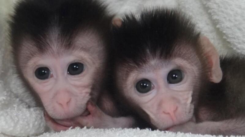 Maimute modificate genetic