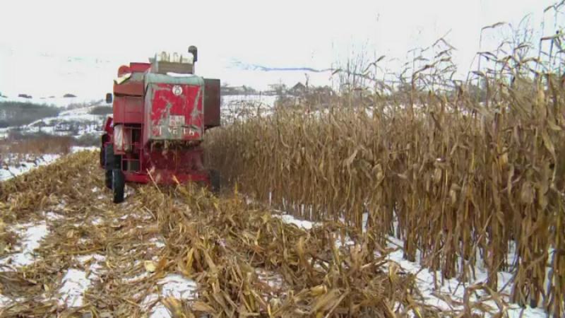 Fermierii s-au apucat sa culeaga recolta de porumb in ianuarie. Secretul care le aduce castiguri mult mai mari