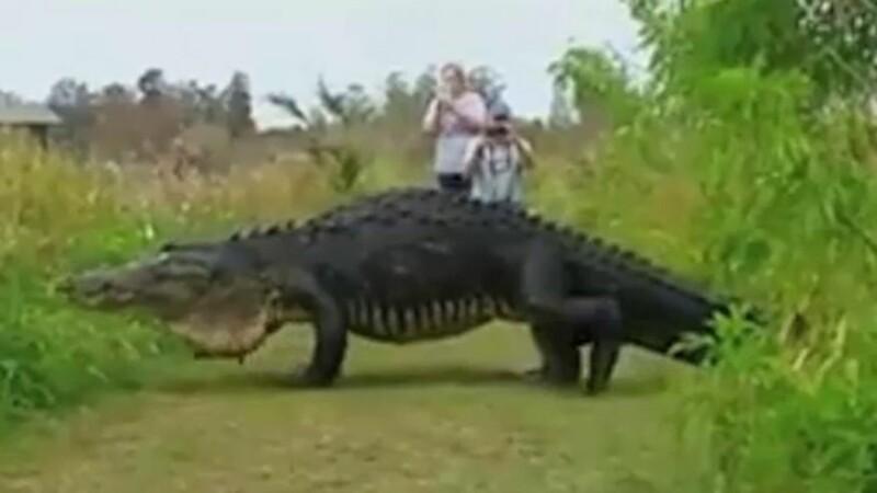 Imaginile care fac inconjurul internetului. Un aligator urias, filmat in timp ce se plimba, in Florida. VIDEO