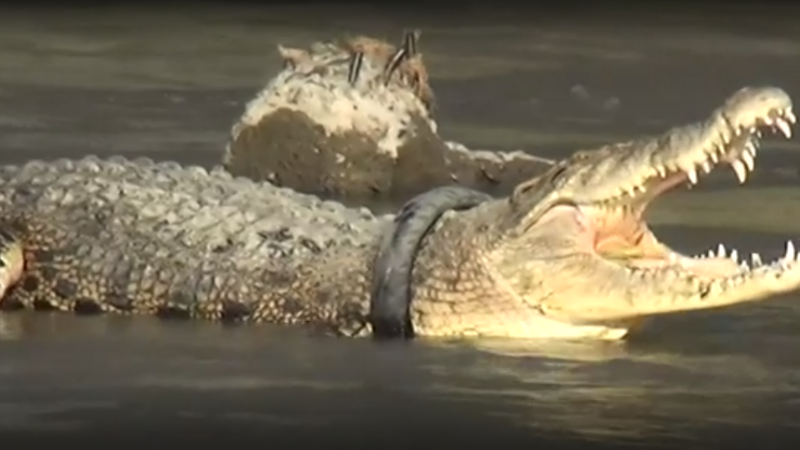 Crocodil Indonezia.