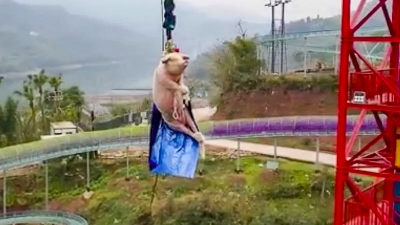 Noua atracție într-un parc din China. Un porc aruncat cu o coardă elastică de la 68 m înălțime