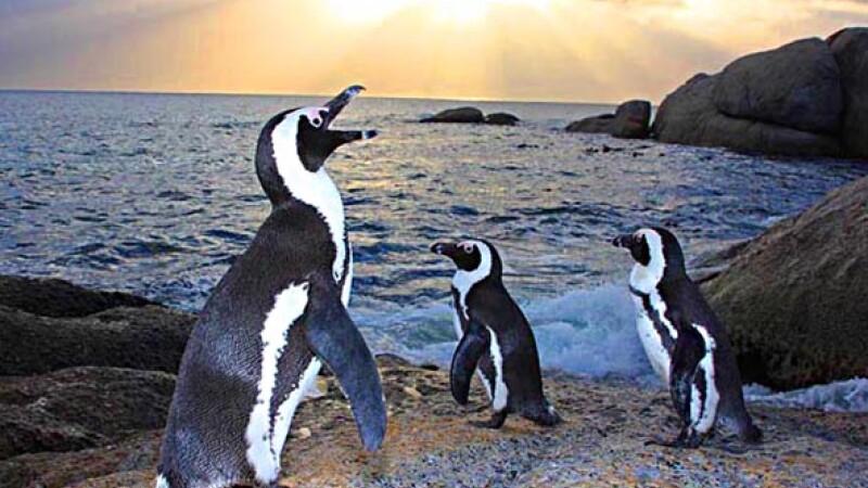 pinguini africani