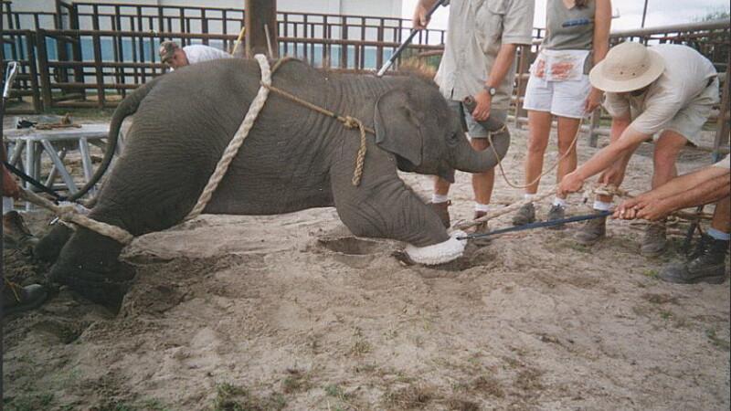 pui elefant