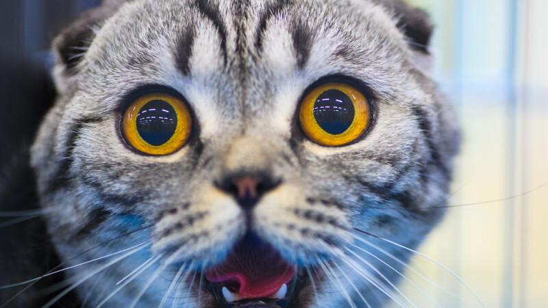 pisica, socata, shutterstock