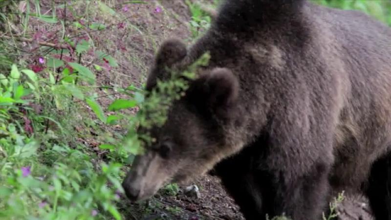 urs atacator