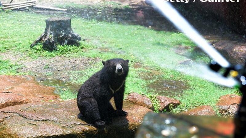 ursul negru