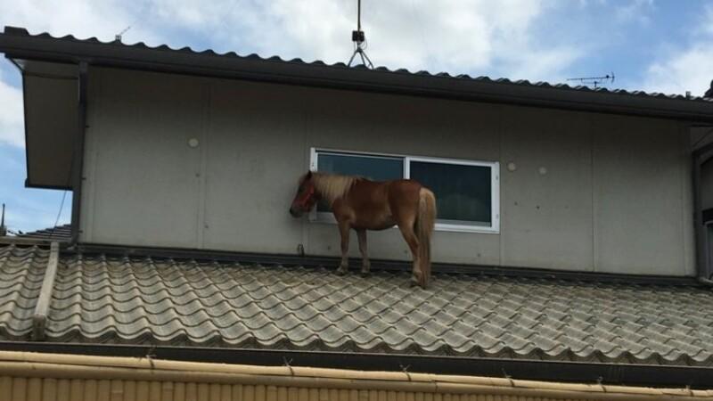 Un ponei s-a suit pe acoperiş ca să scape de inundaţii, în Japonia