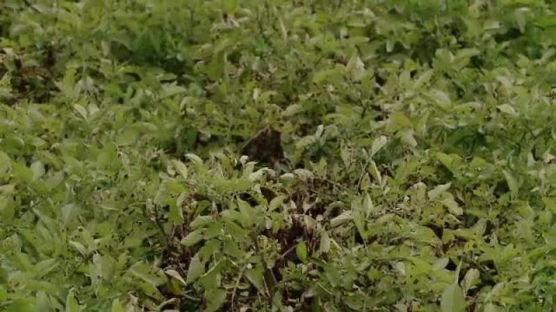 Ploile abundente din Harghita și Covasna au afectat culturile de cartofi