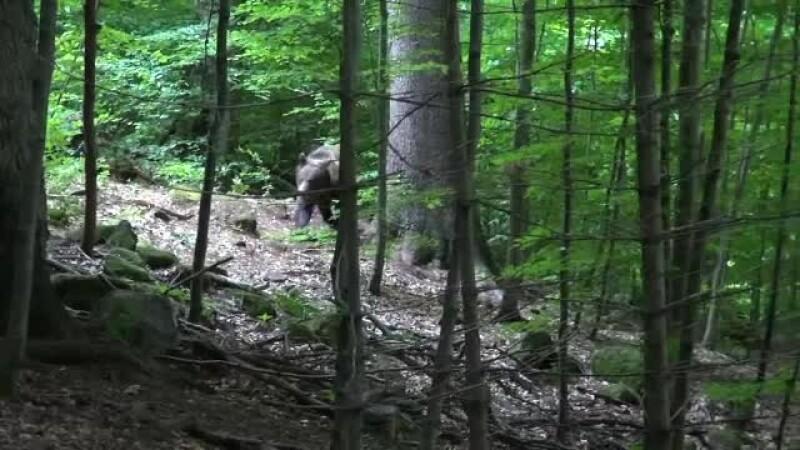 urs padure