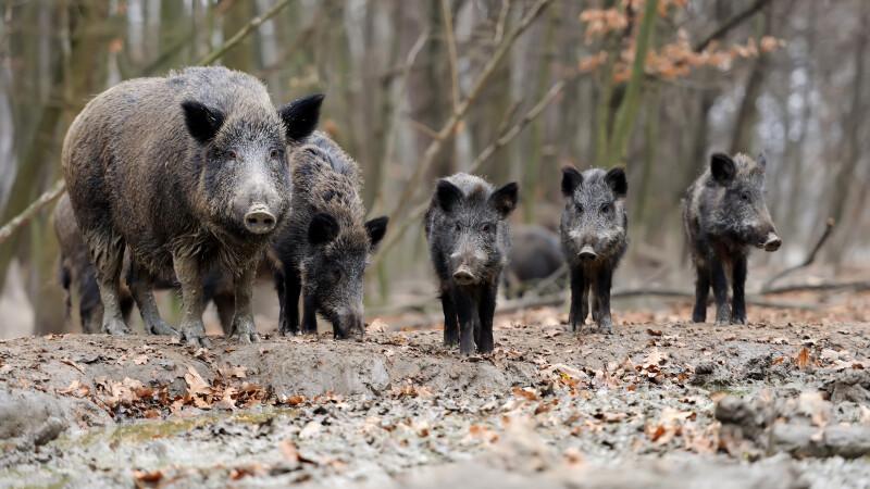 porc mistret