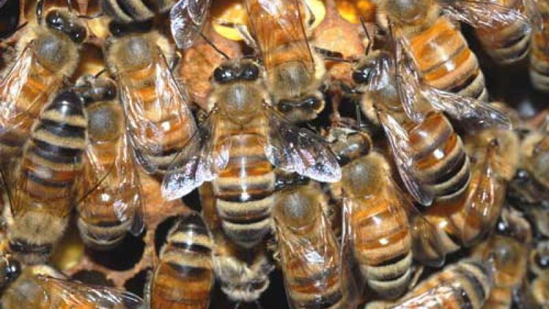 Masacru printre albinele romanesti. Pesticidele le ucid pe capete