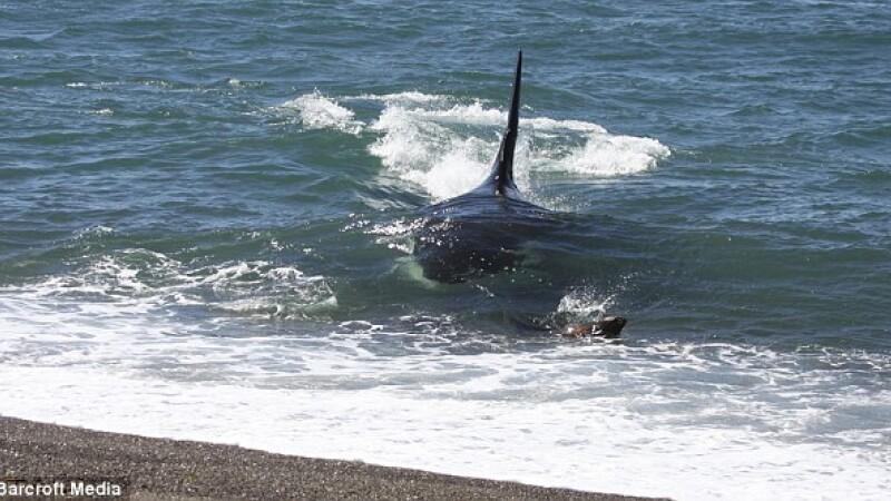 Pui de foca atacat de o balena ucigasa!