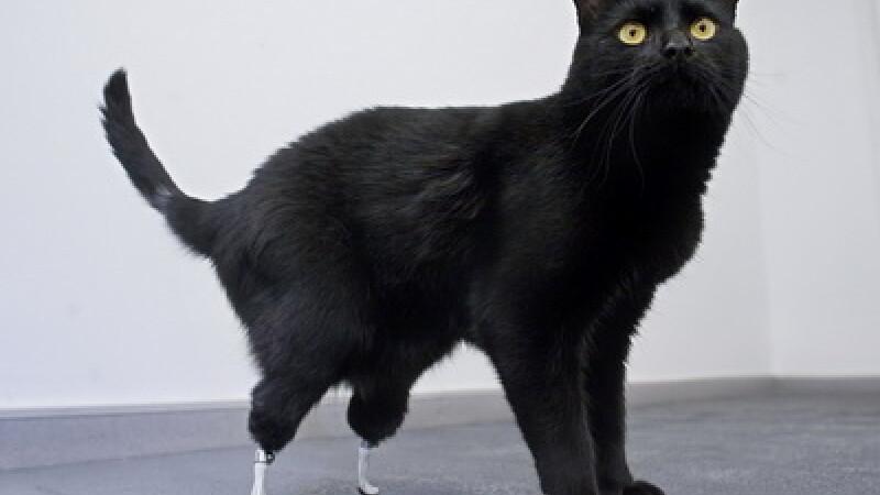 Iata primul cotoi bionic din lume. Oscar poate din nou sa topaie